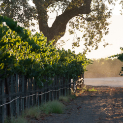 Dusty Path in the Vineyard